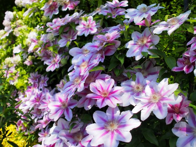 Clematis Pink color Flowers wallpaper