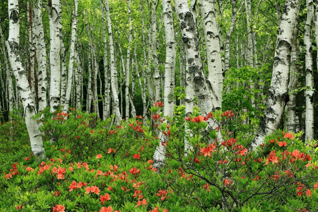 Forests Japan Birch Trees Nature wallpaper