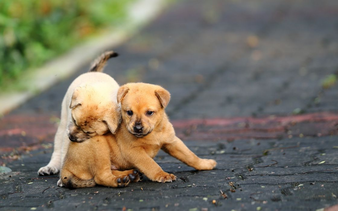 funny puppies play road puppy wallpaper