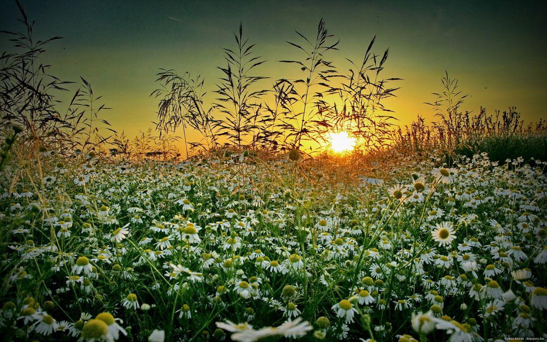 grass chamomile Sunset summer wildflower   d wallpaper