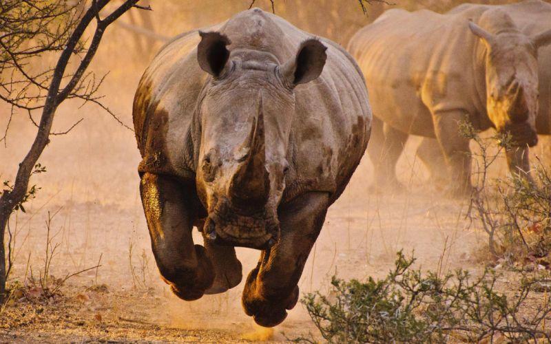 Rhino Rhinoceros wallpaper