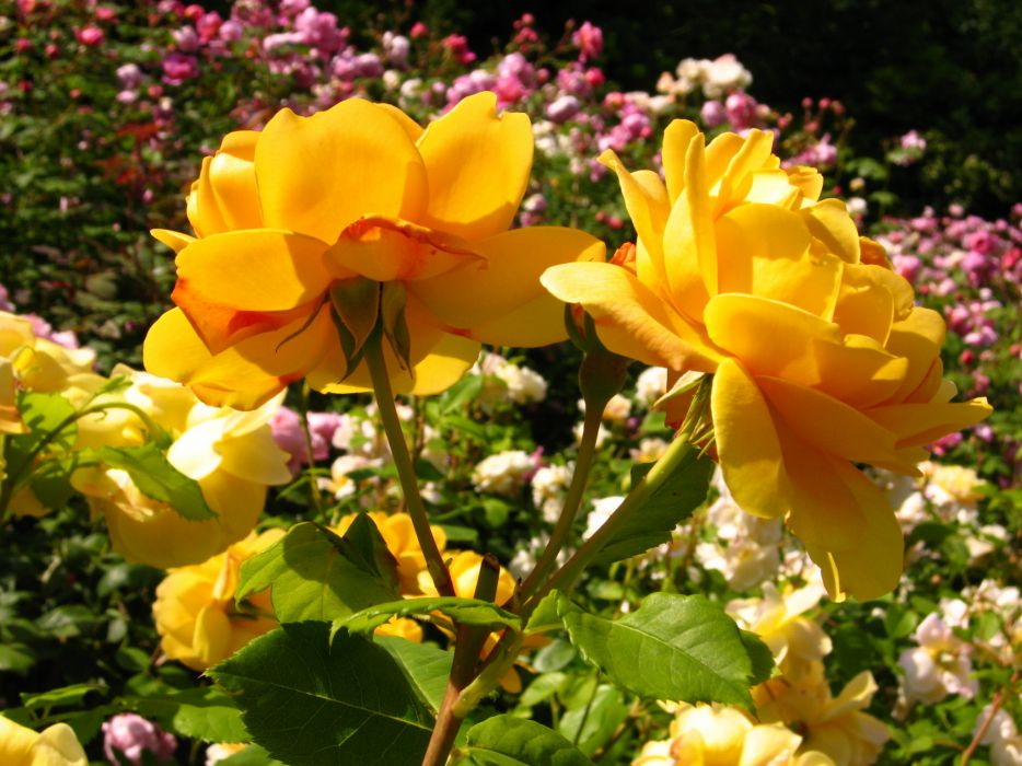 Roses Yellow Flowers wallpaper