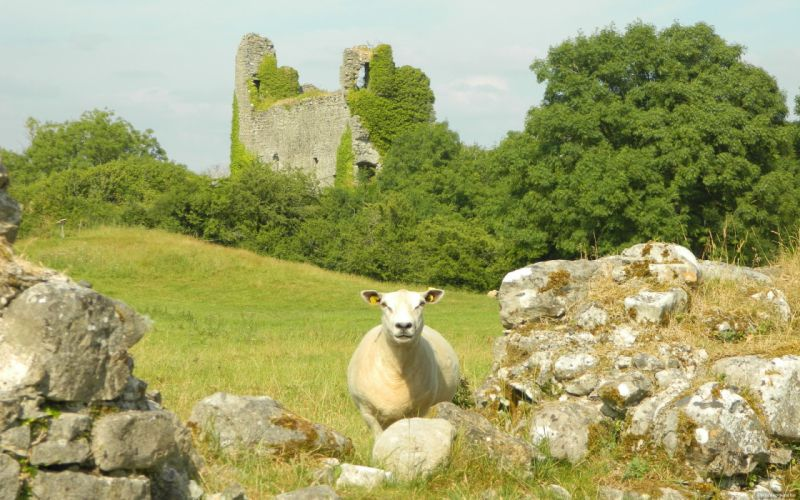 sheep ruins castle wallpaper