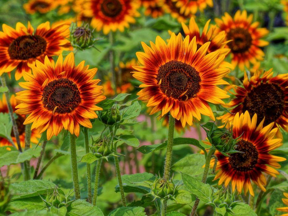 sunflowers sun field sunflower wallpaper