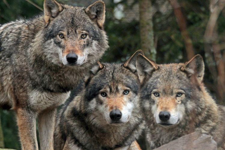 Wolves Animals wolf wallpaper