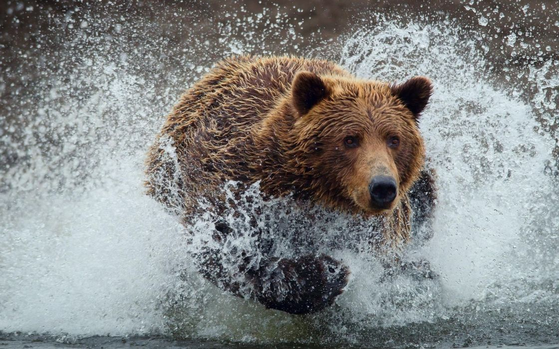 Grizzly Bear Wallpaper 2560x1600 120630 Wallpaperup