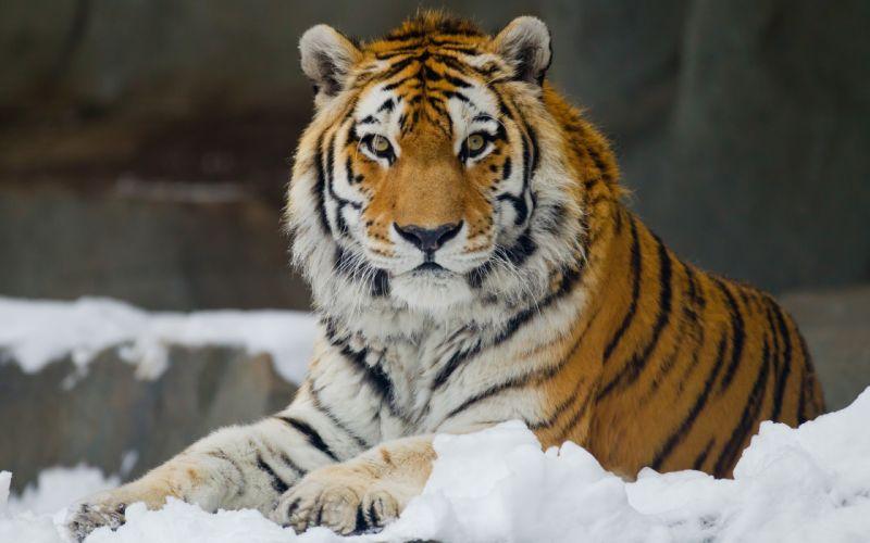 Amur tiger wild cat muzzle wallpaper