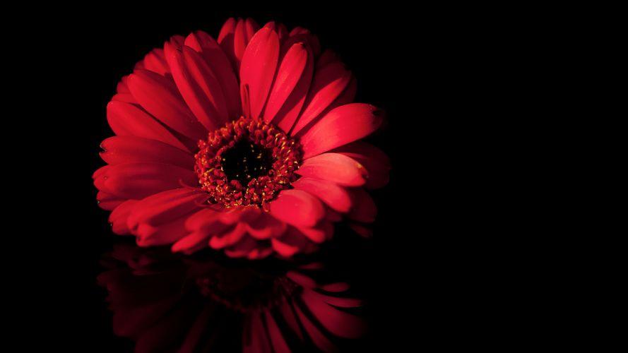 flower gerbera background wallpaper