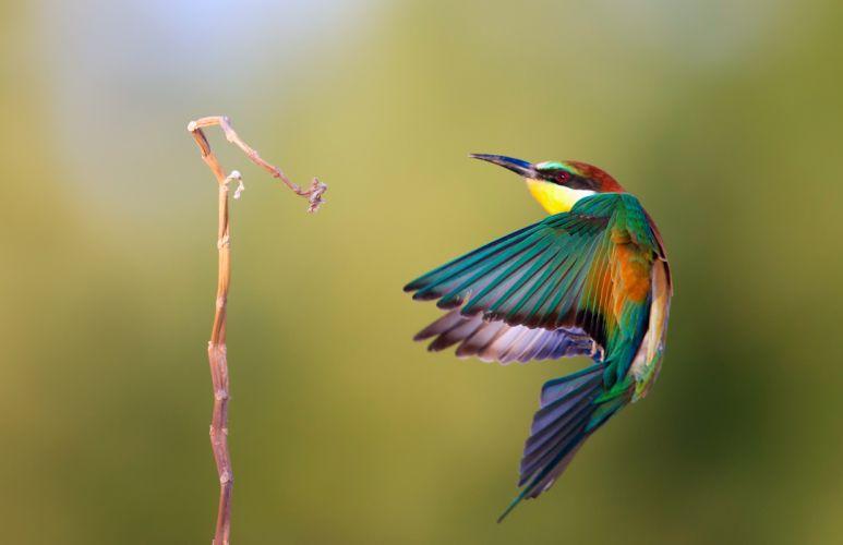 golden eater bird pcheloedka wallpaper