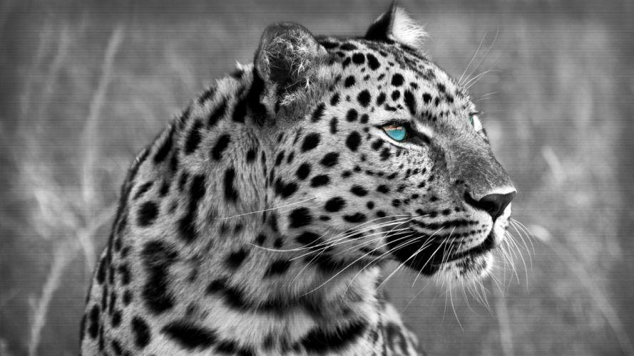 muzzle eyes wild cat leopard wallpaper