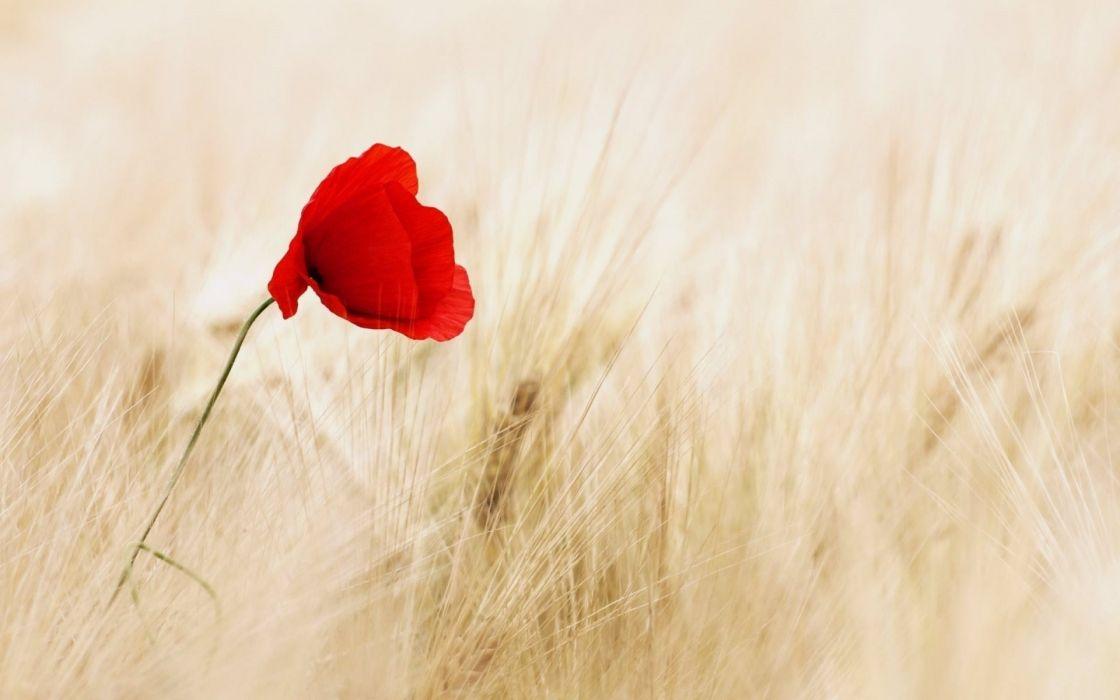 poppy red field ears wallpaper