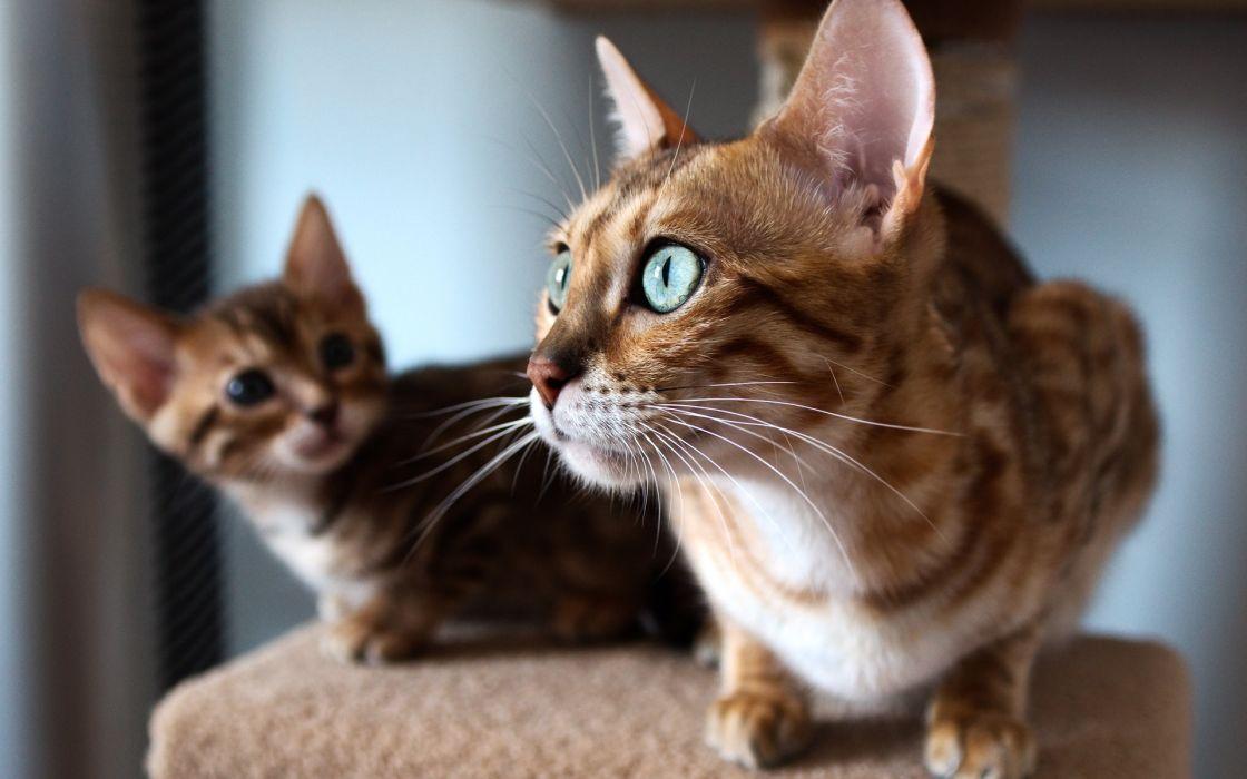 cat kitten look window Bengal wallpaper