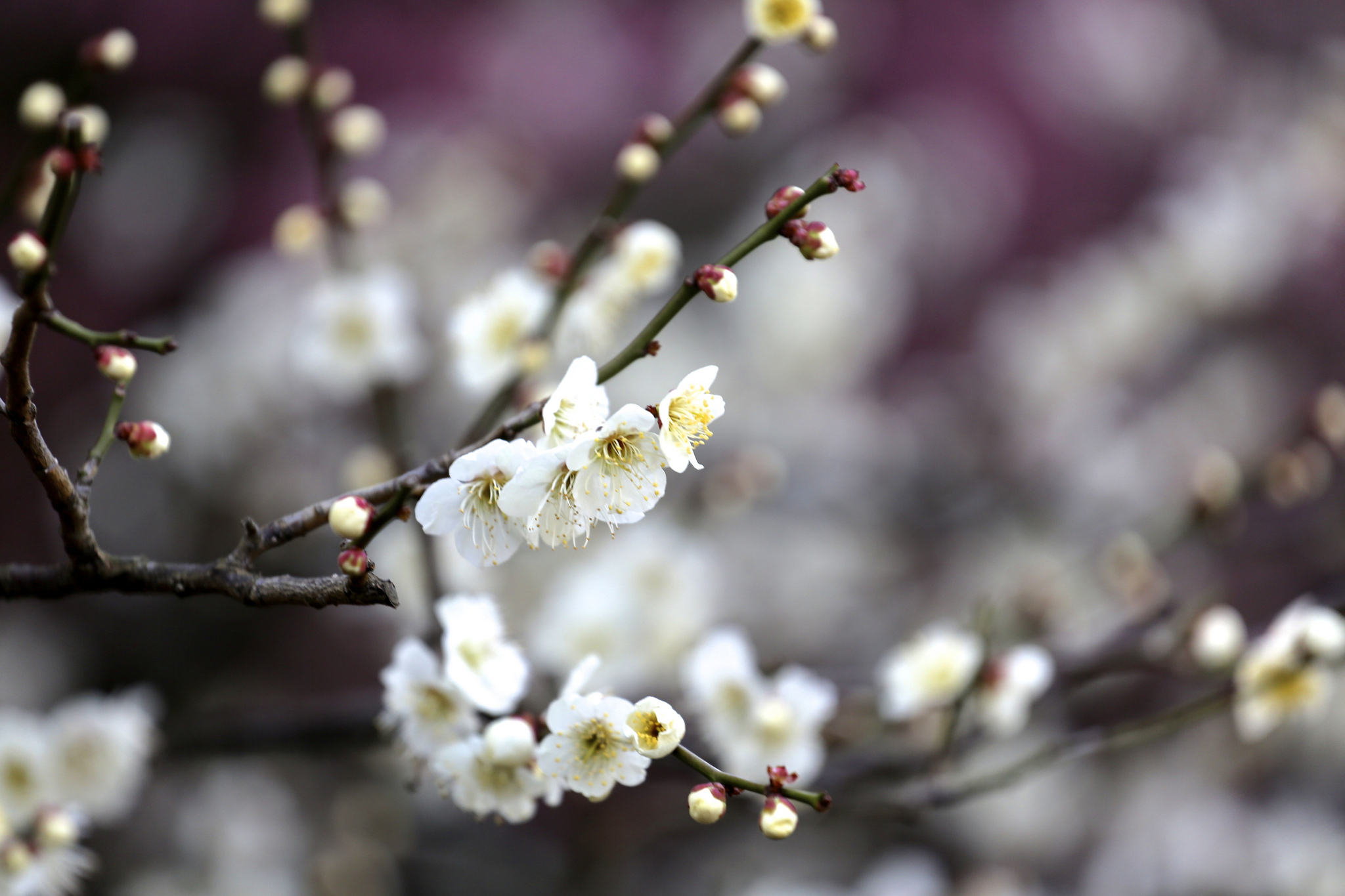 Spring Blossom Tree Branches Flowers Fruit Wallpaper