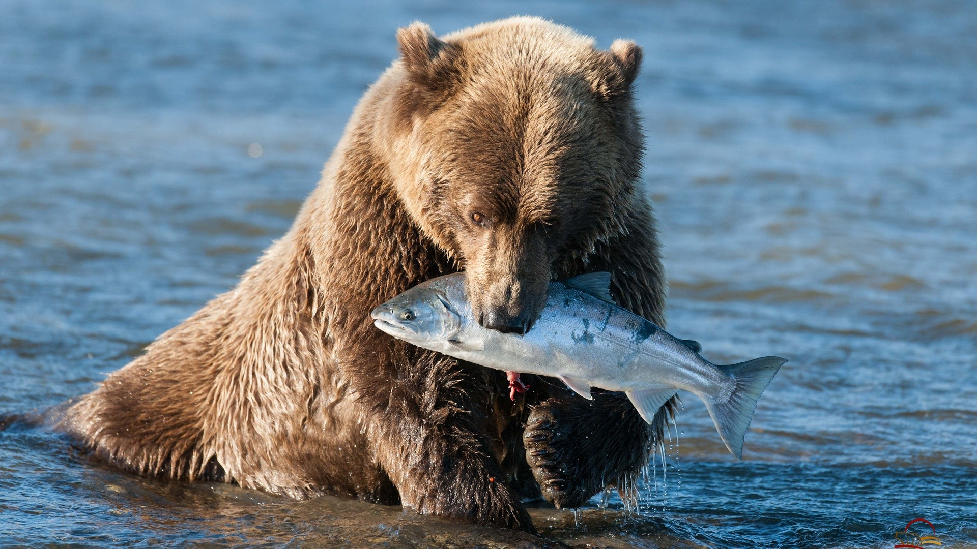 Bear grizzly bear fish wallpaper 1920x1080 120920 for Bear catching fish