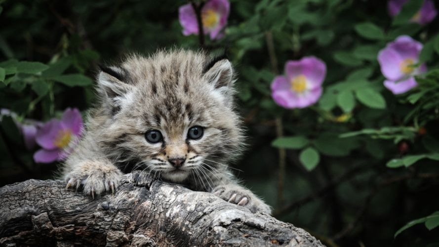 eyes claws hunting background gray fireplace kitten cat wallpaper