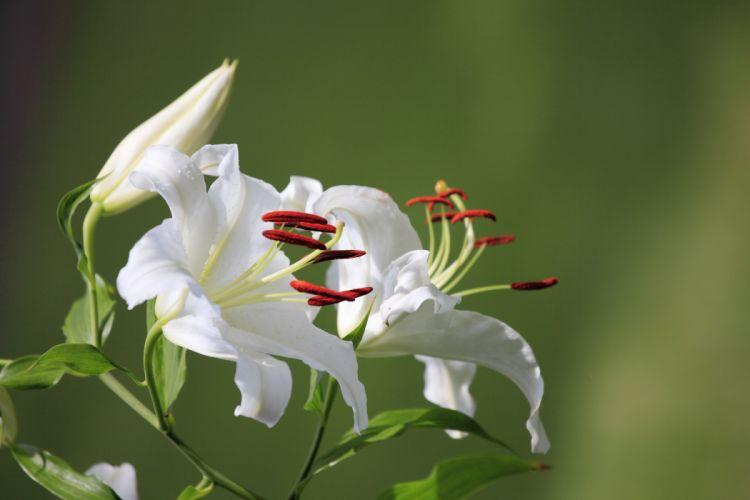 Lilies White Flowers wallpaper