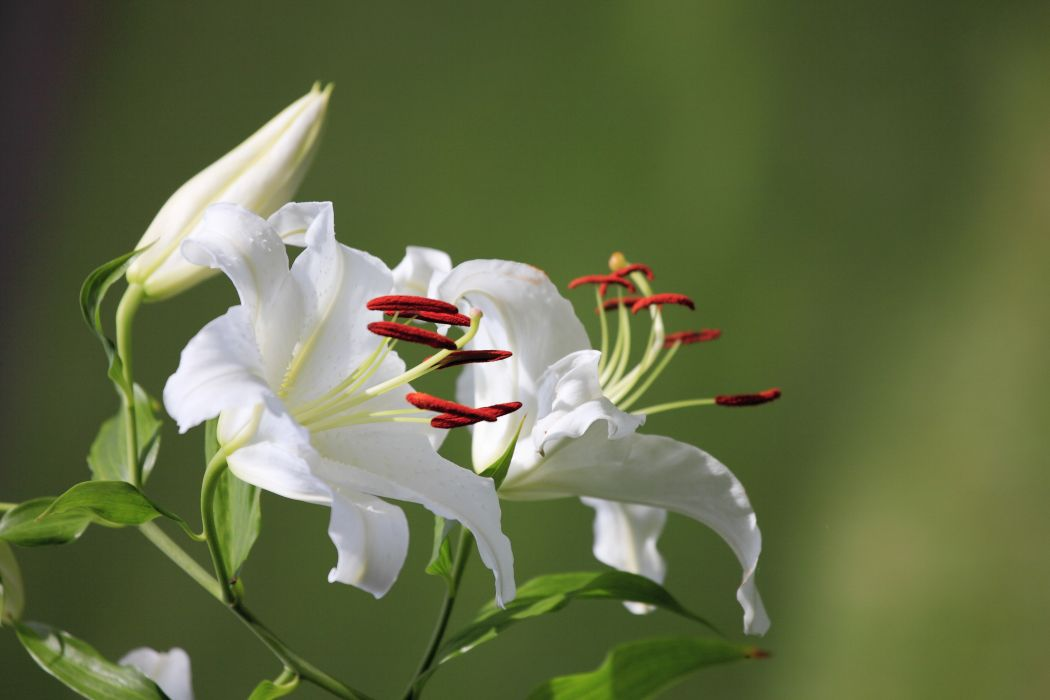 Lilies White Flowers wallpaper