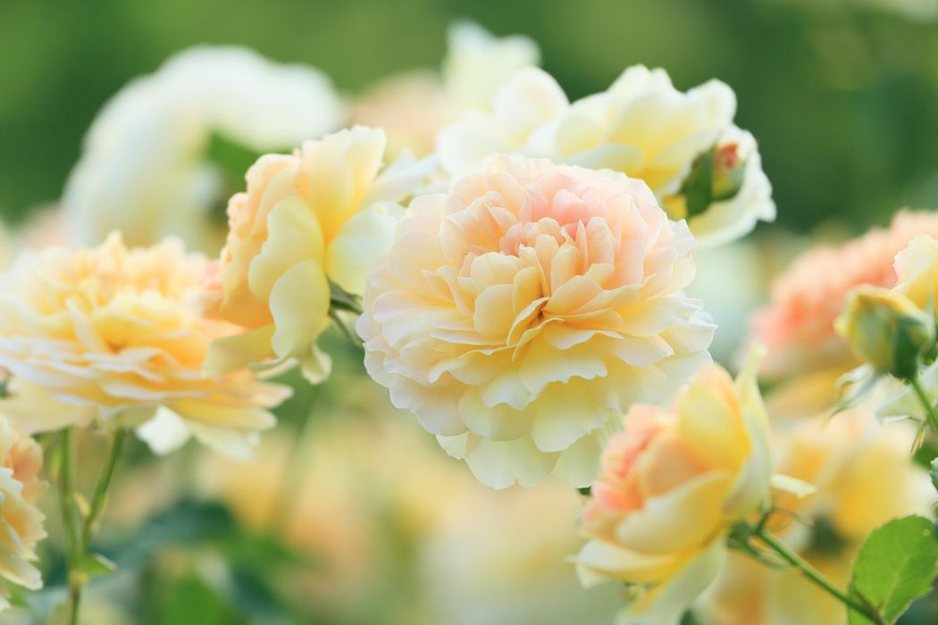 Roses Molineux Flowers wallpaper