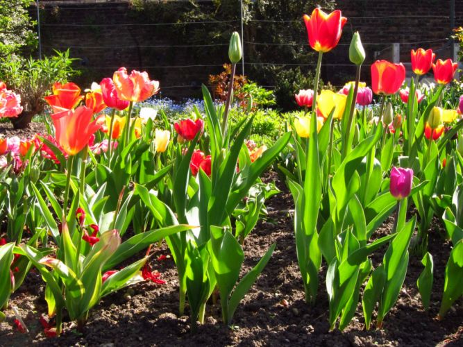 Tulips Flowers wallpaper
