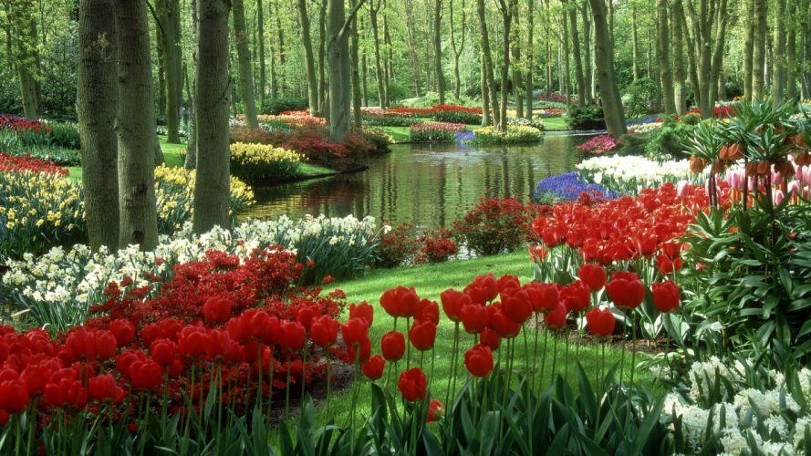 water tulips wallpaper