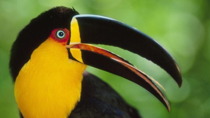 bird toucan beak parrot wallpaper