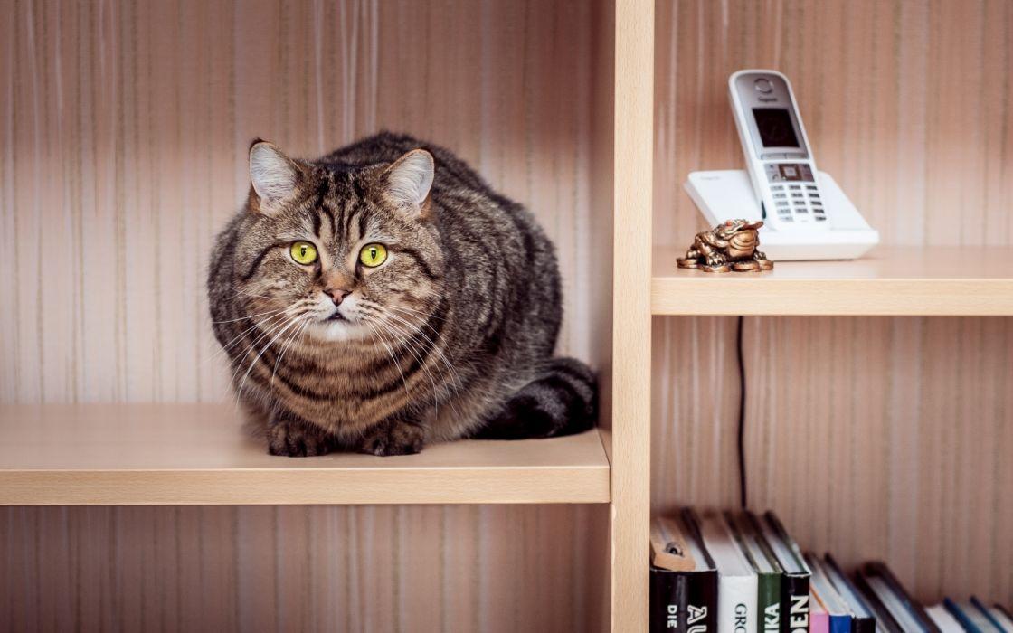 cat tabby sitting wardrobe shelves phone books wallpaper