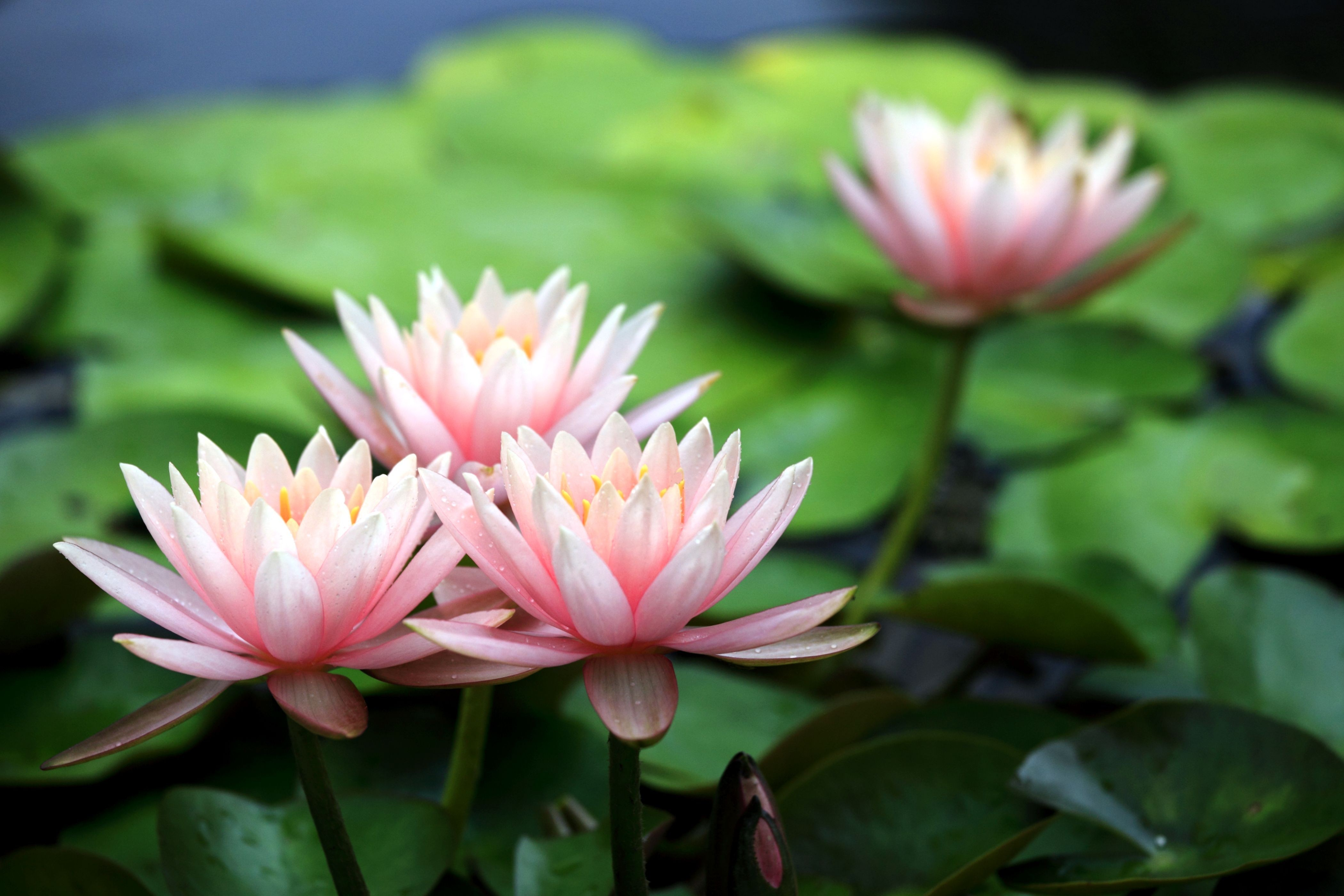 Pink water lily lilies flowers petals wallpaper 4200x2800