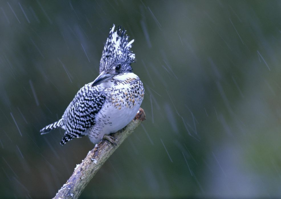 bird  birdie_ branch  macro  rain  kingfisher wallpaper