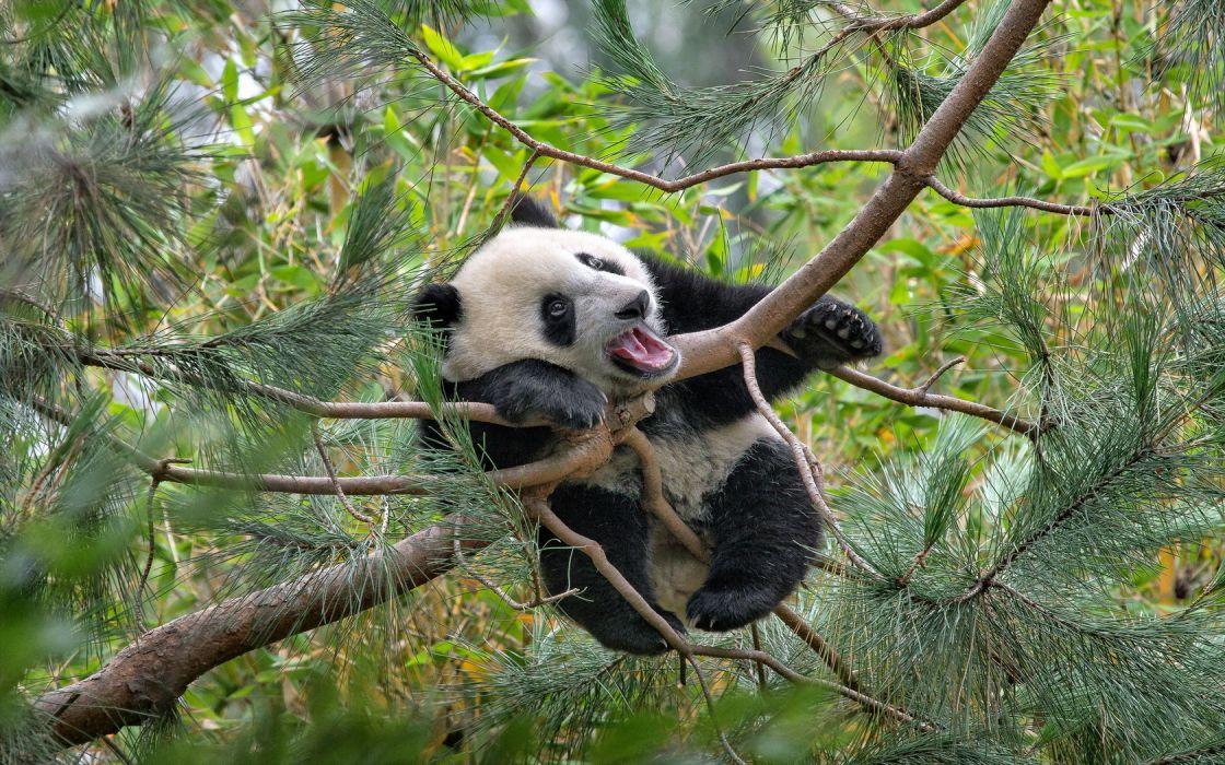 Panda Tree wallpaper