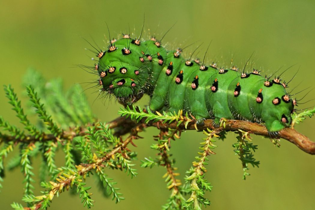 caterpillar branch close-up wallpaper