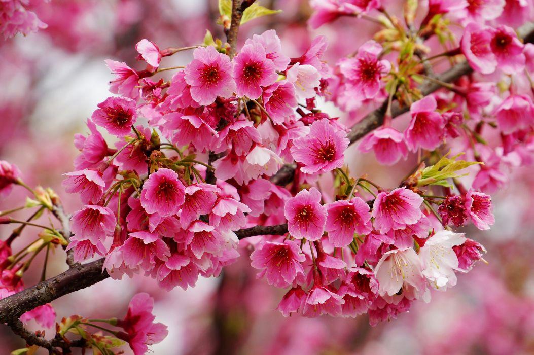 cherry branch flower macro spring wallpaper