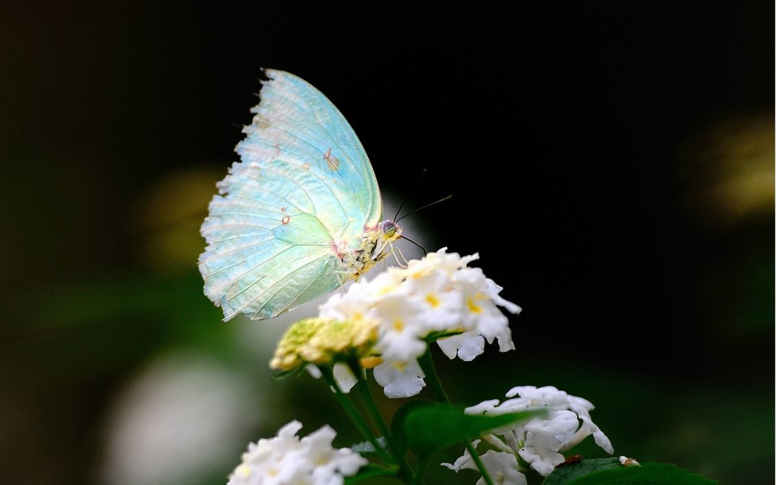close-up flower white wings butterfly wallpaper