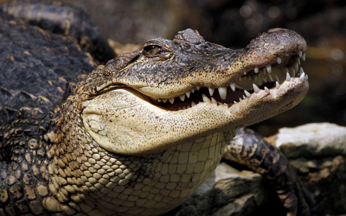 Crocodile    d wallpaper