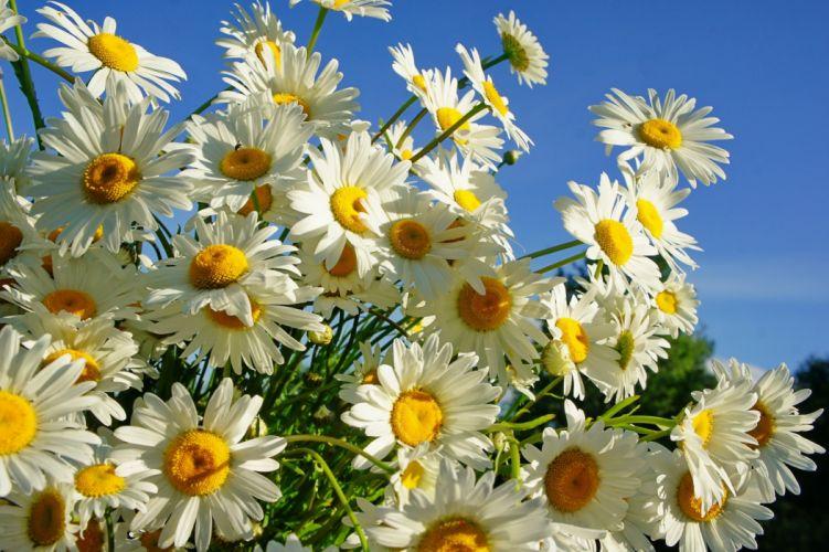 daisies summer sun wallpaper