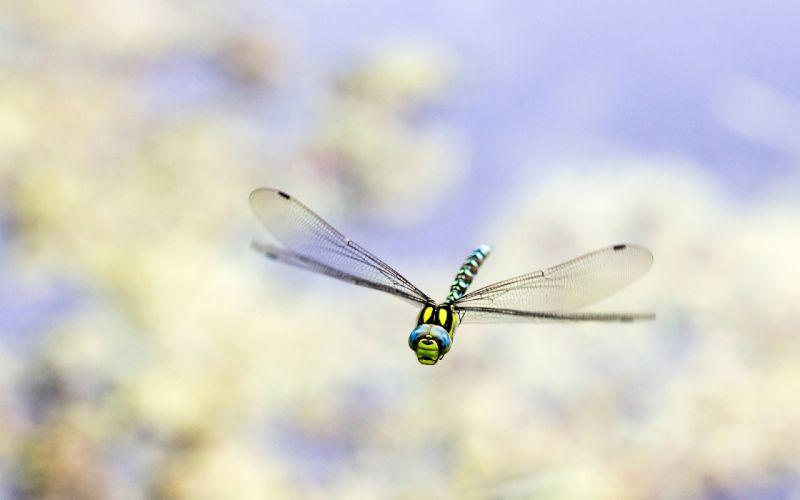 Dragonfly Bug Macro wallpaper