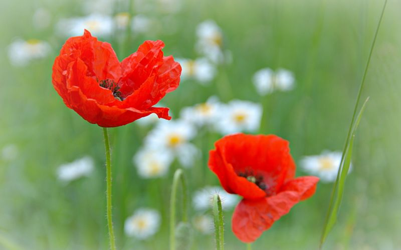 flowers poppies nature wallpaper