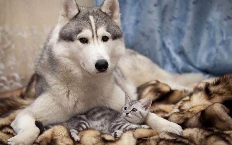 Husky dog cat friends kitten wallpaper