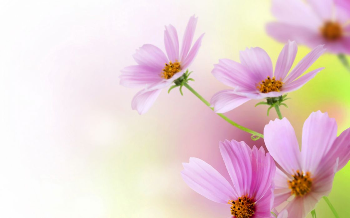 kosmeya  pink  blur  background wallpaper