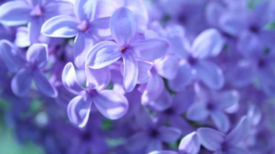 lilac flowers many wallpaper