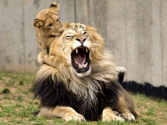 lion cub lions wallpaper
