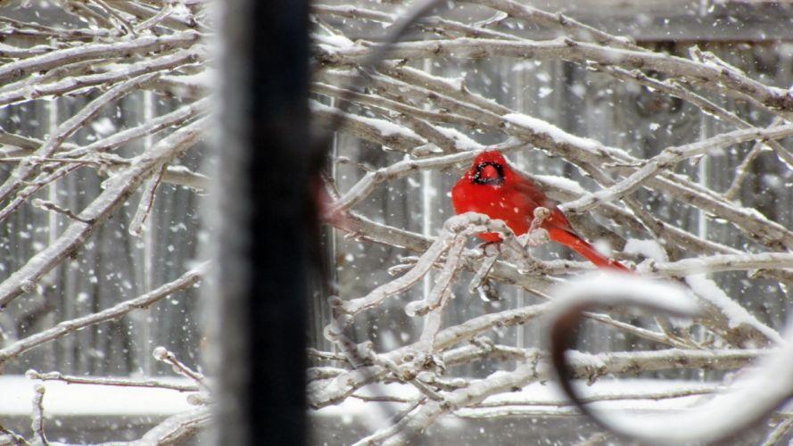 nature snow birds cardinal northern wallpaper