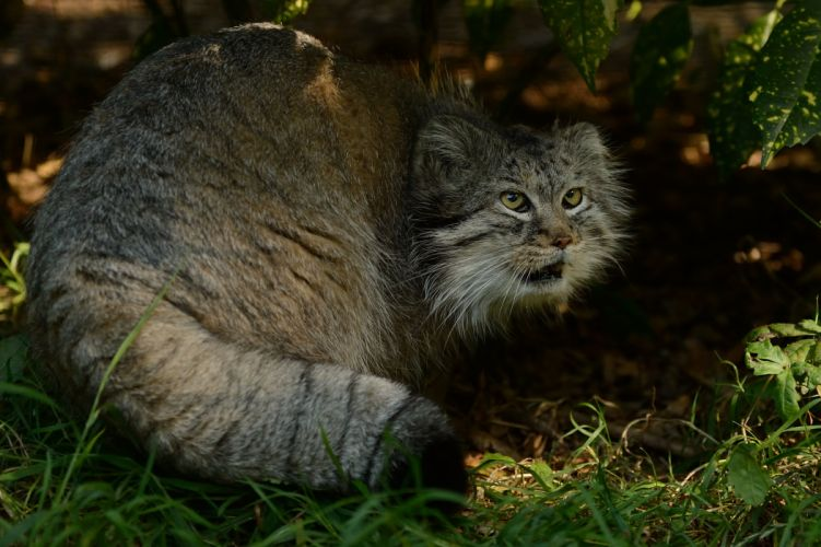Pallas cat predator wallpaper