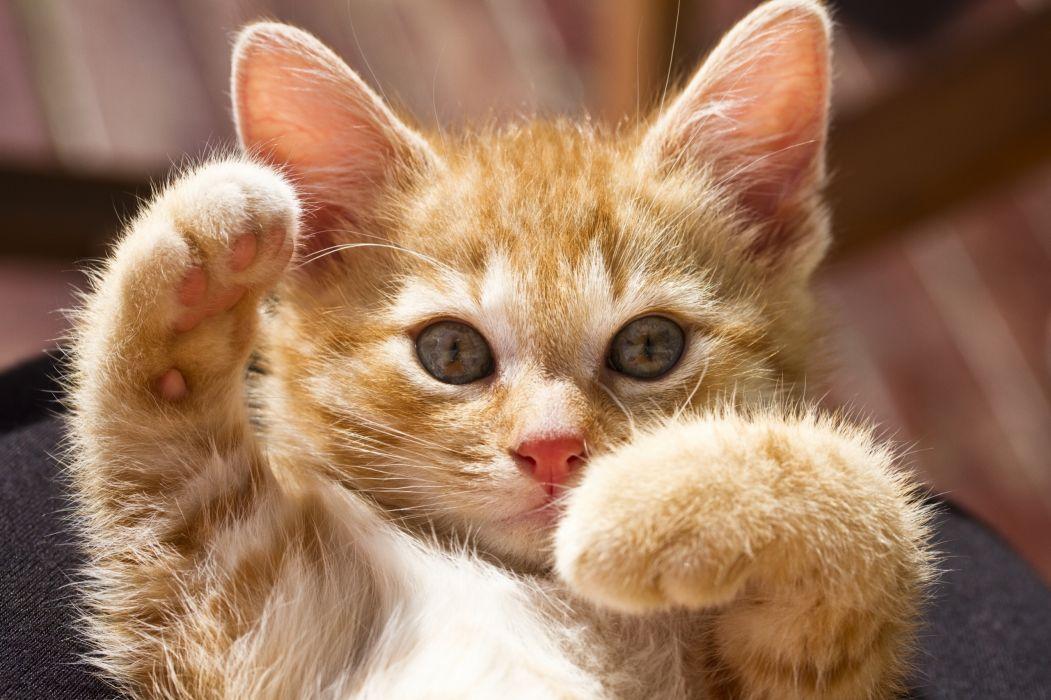 redhead kitty paws kitten baby kittens wallpaper