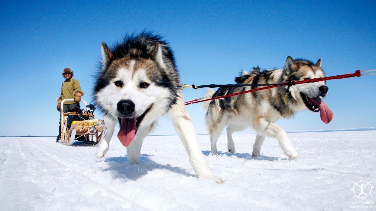 snow animals dogs wallpaper