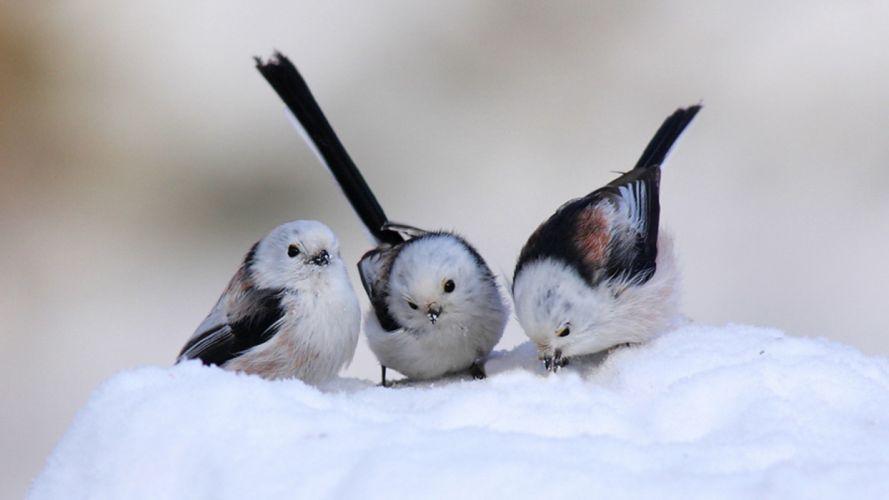 snow birds longtailed tit wallpaper