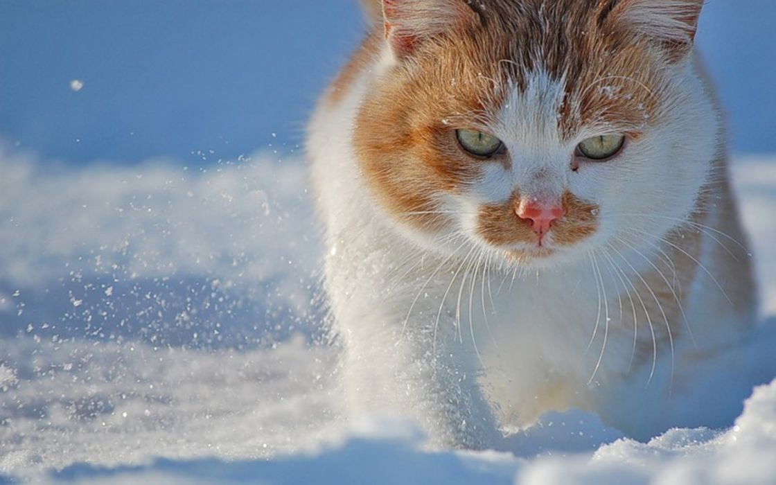 snow cats animals green eyes Animal Cat wallpaper