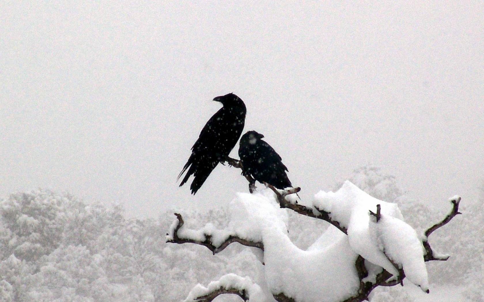 Winter Snow Birds Ravens Branches Animals Bird Wallpaper
