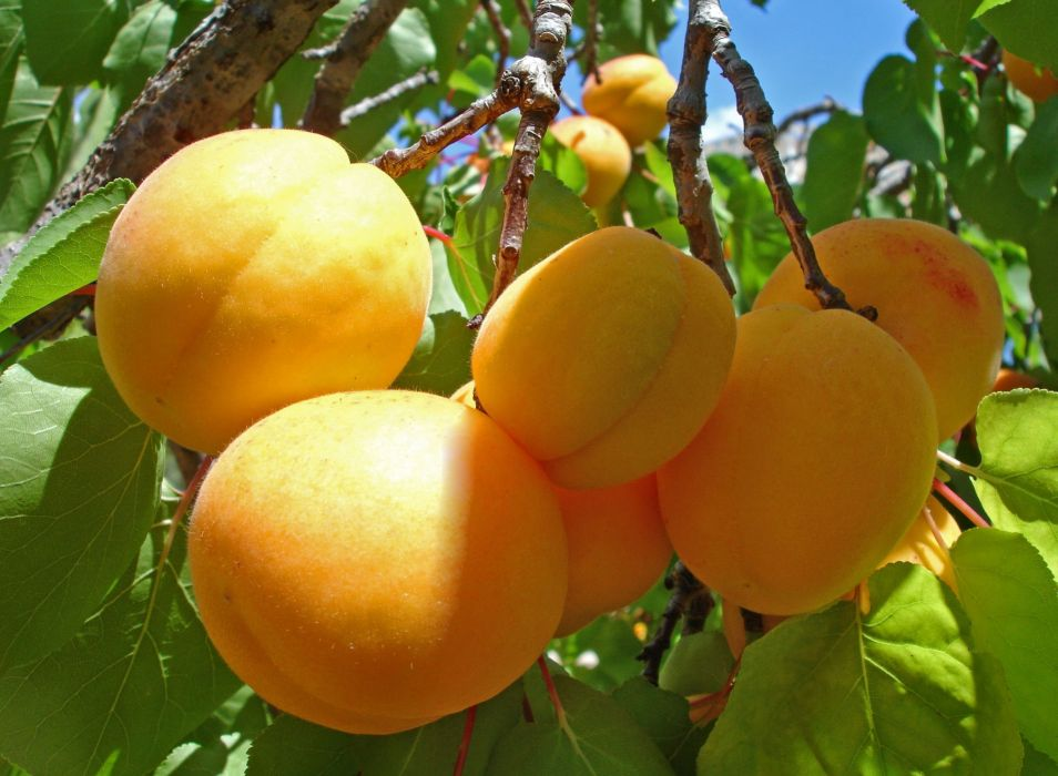 apricots fruit leaves wallpaper