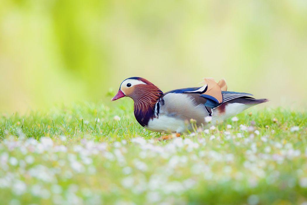 flowers mandarin duck duck bird field wallpaper