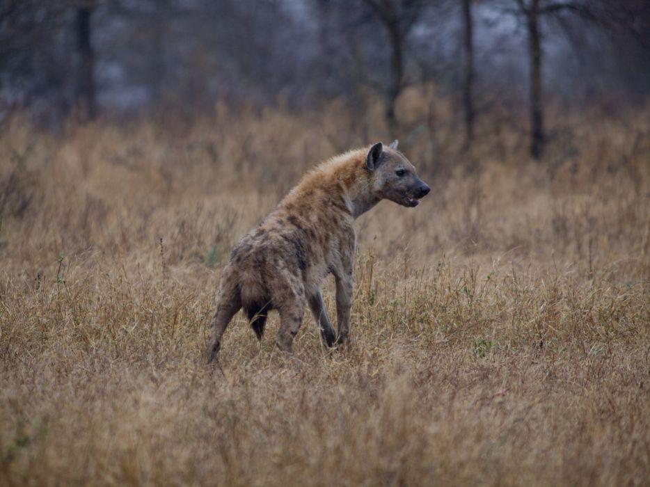 hyena predator wallpaper